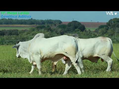 LOTE 130 - DUPLO - REM 10339, REMP 713 - 17º Mega Leilão Genética Aditiva 2020