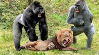 видео: Unbelievable!!! Gorilla Adopts Lion Cub And The Unexpected | Lioness Save Baby From Baboon, Gorilla