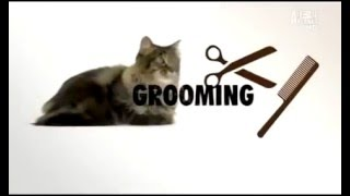 Мейн кун  фото, видео, описание породы, характер  Кошка породы Maine Coon