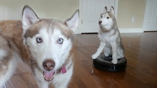 Surprising my husky with her twin on a Roomba!