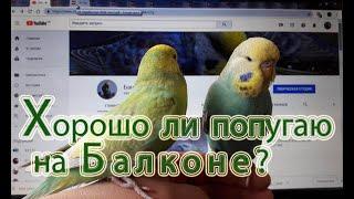 📎 ✉ Содержание попугаев на балконе. Плюсы и минусы