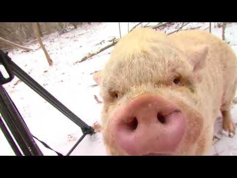 TMP Pot Belly Pigs Sanctuary Britta