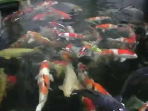 Rainbow koi wiltshire video of high grade japanese koi for Koi show pools