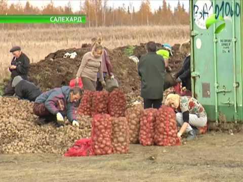 Рекордный урожай салехардских фермеров - 90 тонн картофеля