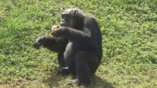 Lion Country Safari With Little Mama The Oldest Chimpanzee On Record! thumbnail