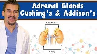 Adrenal anatomy *Part 1* Cushings disease, Addisons disease