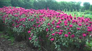 Purple Coneflower Flowers For Sale