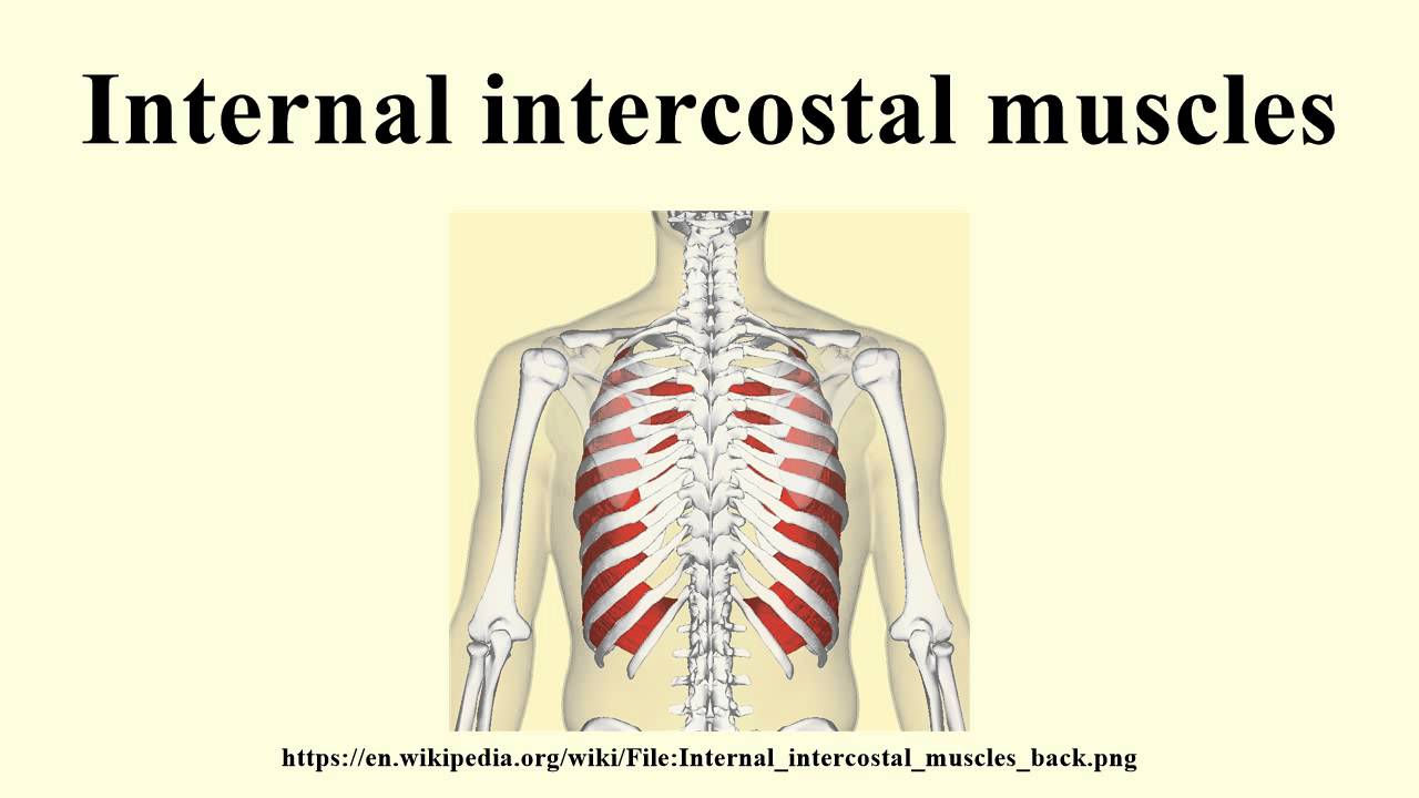 Internal Intercostal Muscles Youtube