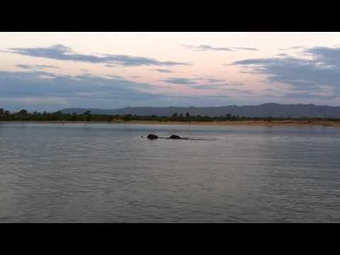 crocodile goes for elephant on lake Kariba