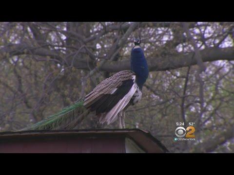 Peacock Flies The Coop On LI