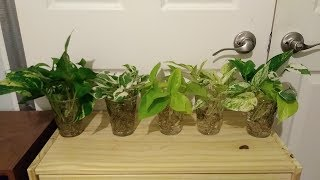 Different types of Pothos varieties in full water culture