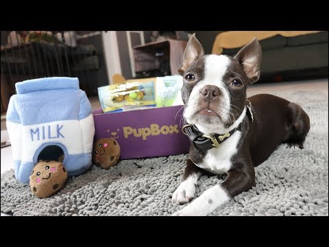 Zuko the Boston Terrier Puppy unboxes a PUP BOX