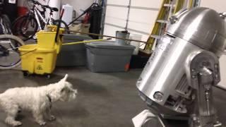 Westie Barking At R2