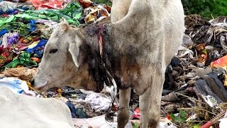 Dramatic rescue of injured calf from garbage dump in India.