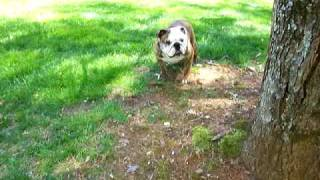 Video English Bulldog runs like the wind (she breaks wind too, but that's another story) download MP3, 3GP, MP4, WEBM, AVI, FLV November 2017