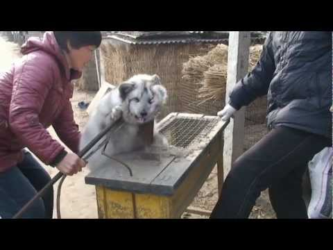 Never-Before-Seen Footage: Olivia Munn Reveals Graphic Chinese Fur Farm Exposé