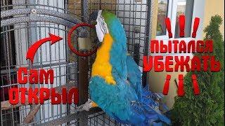 Большой злой попугай АРА - ругается. Злится на хозяйку и раскидывает свои чашки! На улице без клетки
