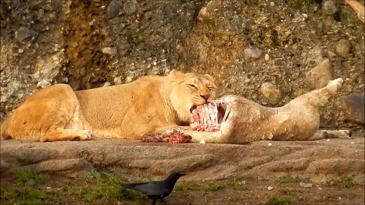 Lion eating prey - YouTube - photo#7