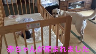 Bow (Labrador retreiver ♂) 26.Jul.2015 バウ (ラブラドールレトリーバ...