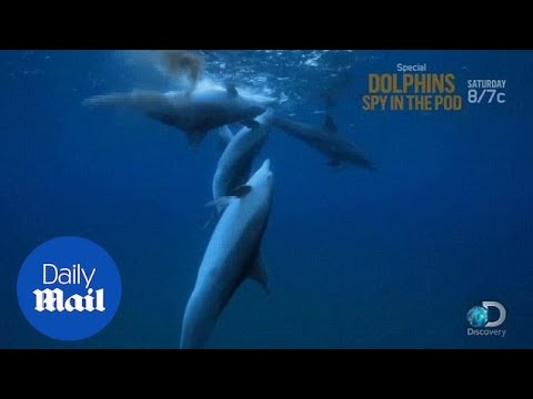 Dolphins Appear To Get High On Puffer Fish - Daily Mail