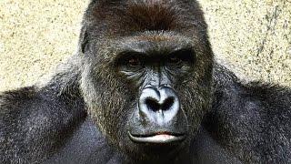 Is Harambe Still Alive?