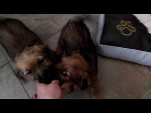 Terrible 8 week old Norfolk Terriers love to play hard!