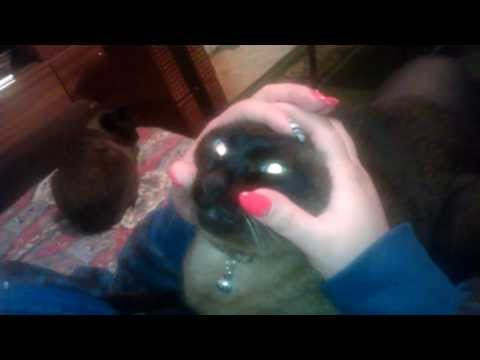 Siamese cat making funny face