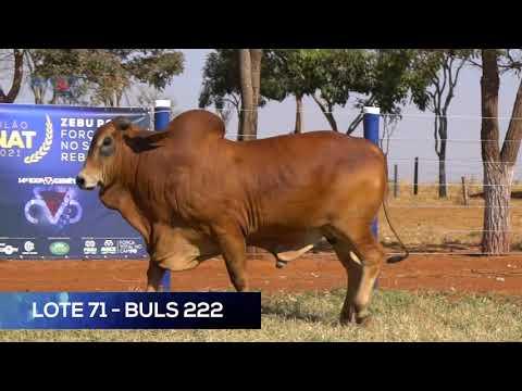 LOTE 71 - BULS 222 - SINDI