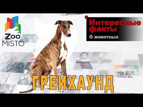 Грейхаунд - Интересные факты о виде   Вид собак грейхаунд