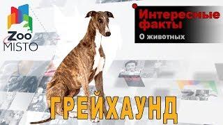 Грейхаунд - Интересные факты о виде | Вид собак грейхаунд