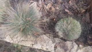 Весенняя обрезка овсяницы сизой и осоки