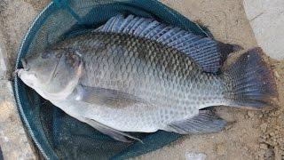 Cara mancing ikan Mujaer , simpel...
