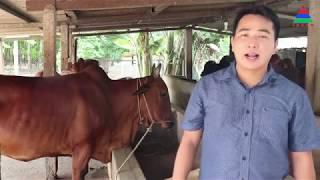 Mô hình nuôi bò sİnh sản chất lượng cao