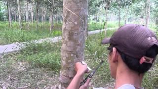 menoreh getah pokok muda