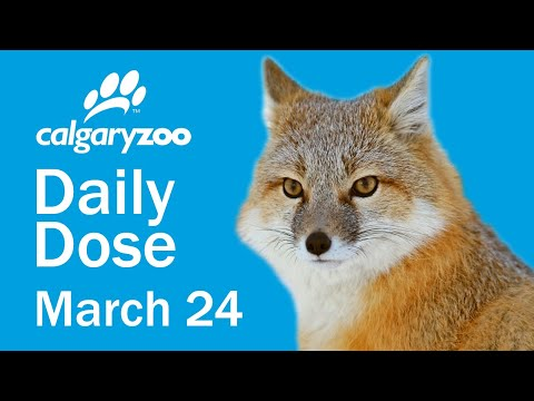 Your Daily Dose: Swift Foxes
