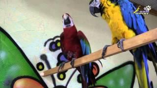 Ламбада. Попугай танцует
