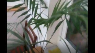 ПАЛЬМА.  Лечение ( желтеют листья ) ЧАСТЬ 1