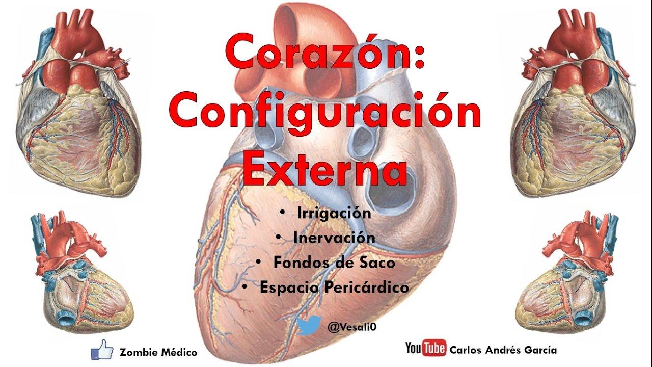 Anatomía - Configuración Externa del Corazón (Caras, Bordes ...