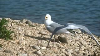 Survival of the fittest!: Gulls eat ducklings / Meeuwen eten eendjes