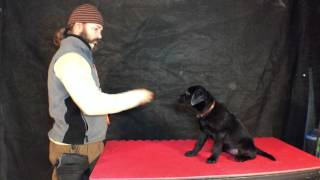 Labrador Puppy's third full day at my kennel