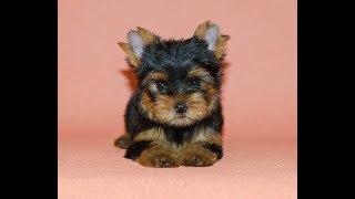 Купить элитного щенка йоркширского терьера - Доска объявлений Догики