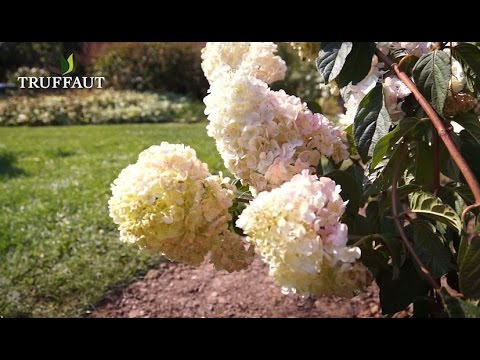 comment tailler un hydrangea paniculata jardinerie truffaut tv youtube. Black Bedroom Furniture Sets. Home Design Ideas