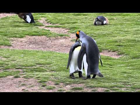 King Penguins Mating