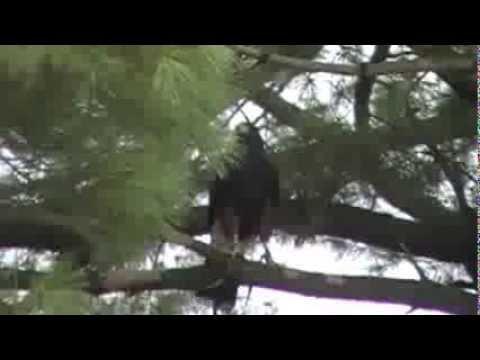 Isabo - Harris Hawk - Redhawk Native Arts Powwow 002