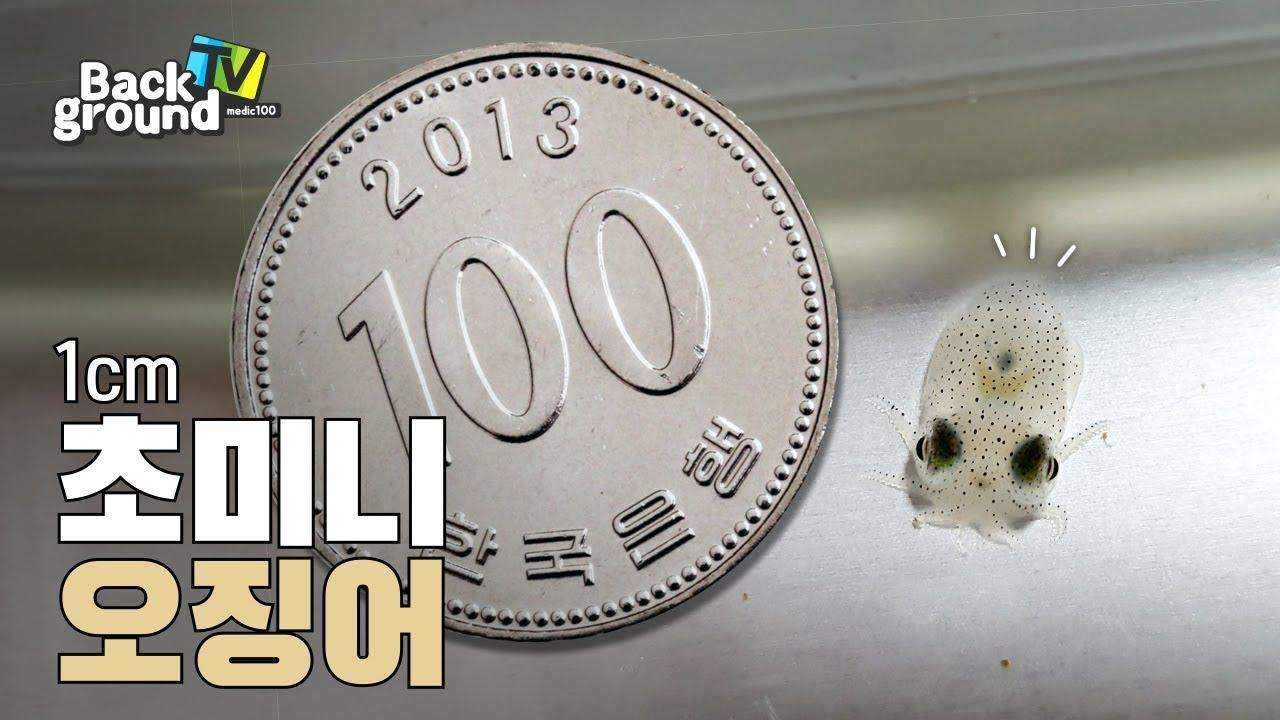 1cm 오징어가 보여준 놀라운 행동! (진짜 깜짝 놀라실 겁니다)