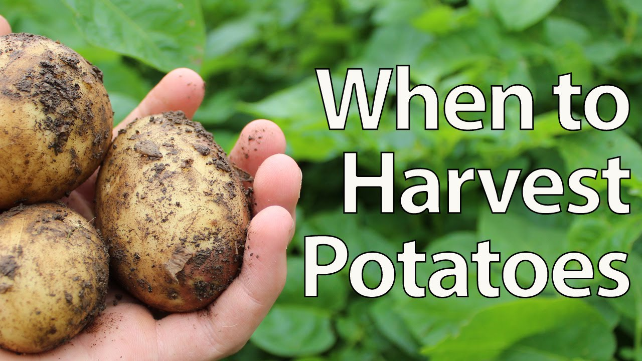 When To Harvest Potatoes Simplest Method You