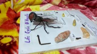 House fly life cycle model (zoology) project by PRINCE created from simple things , homemade