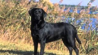 History Of Labradors