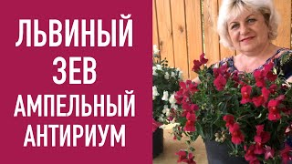 видео Цветок бакопа ампельная: фото растения, выращивание из семян и уход