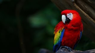Как содержать попугая ара?